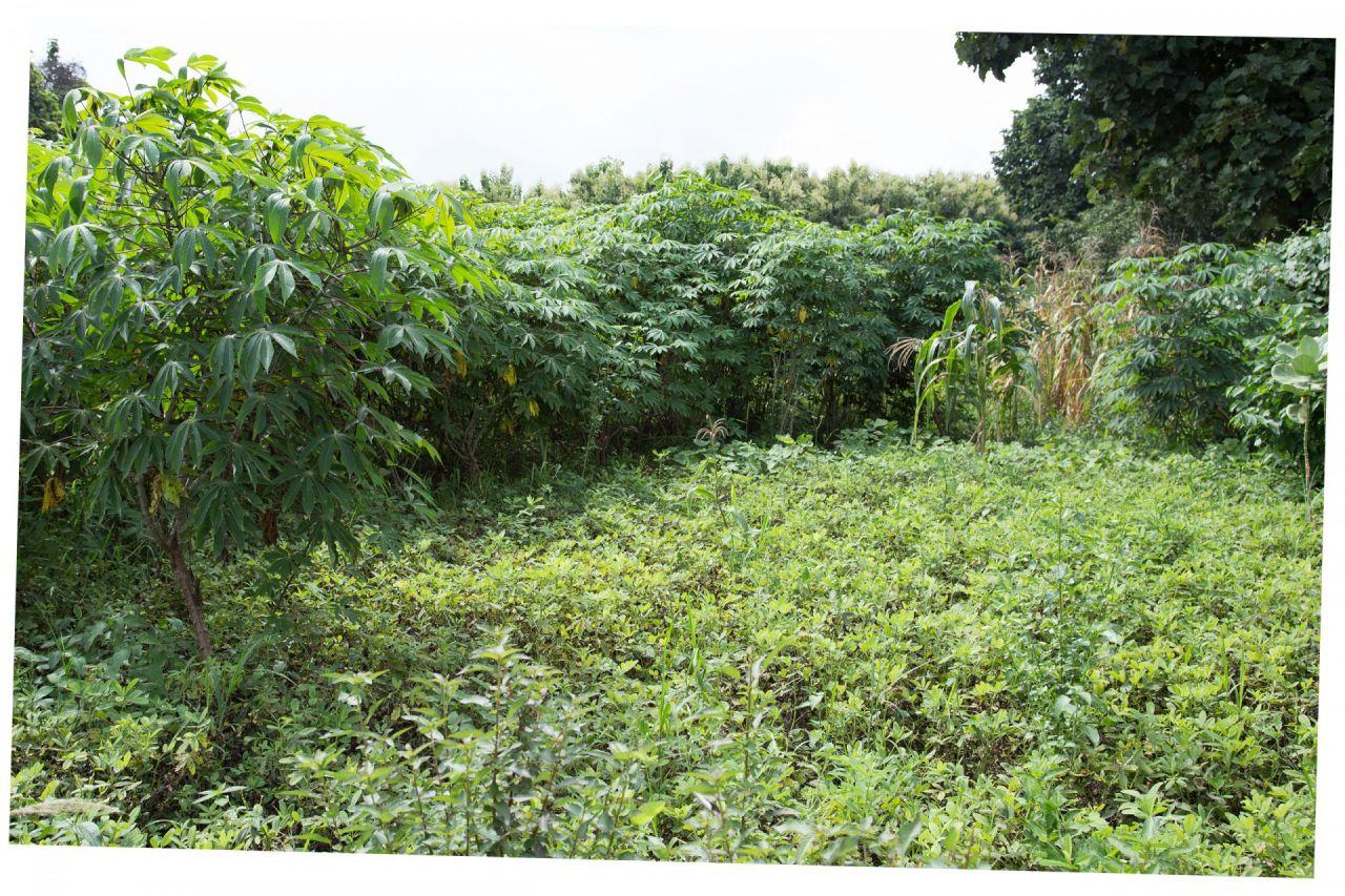 cassava crop harvested outside the cocoa season