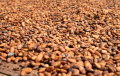 Not all cocoa makes rainforest disappear, possible non-traceable cocoa does