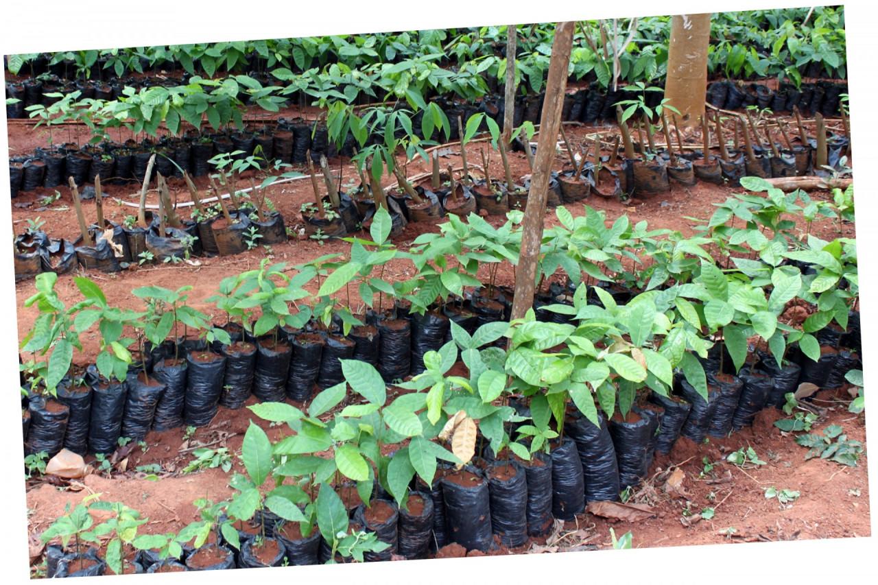jonge cacaoboompjes