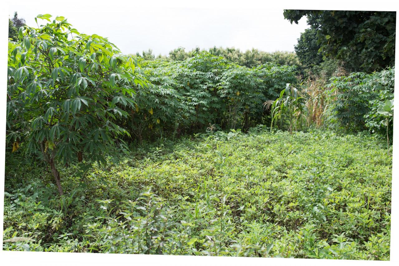 cassaveplantage, voor oogst buiten het cacaoseizoen